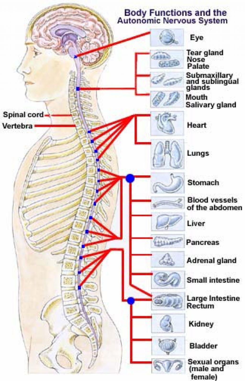 Позвоночник и нервная система схема